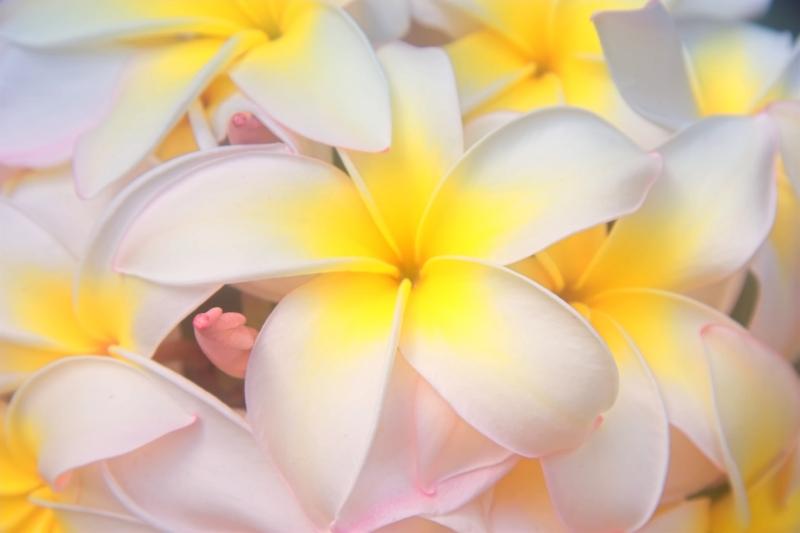Maui Plumerias in bloom