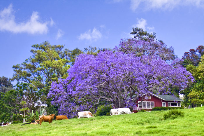 Maui Upcountry and Jacarandas