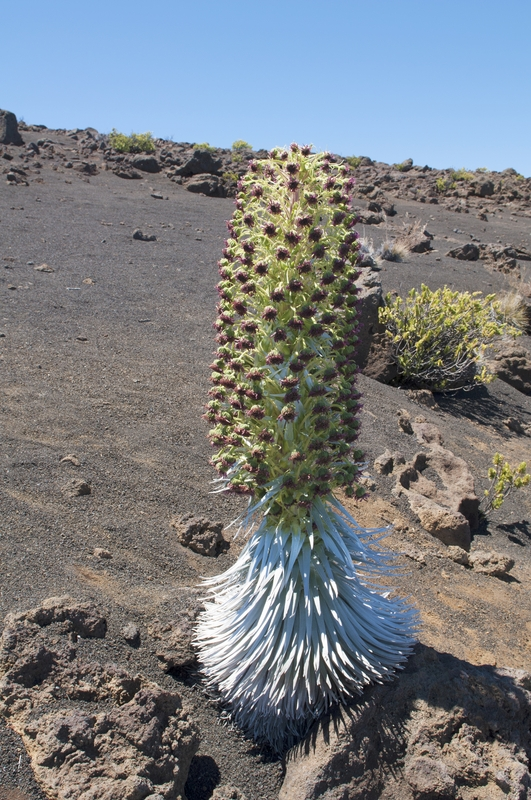 Silversword in bloom, Haleakala, Maui, Hawaii